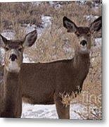 Pair Of Mule Deer   #7584 Metal Print
