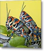Pair Of Rainbow Grasshoppers On Ocotillo Metal Print