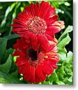 Pair Of Red Gerber Daisy Flowers With Ladybug Metal Print
