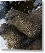 Pair Of River Otters   #1301 Metal Print