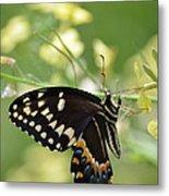 Palamedes Swallowtail Metal Print