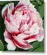 Pale And Dark Pink Peony Metal Print