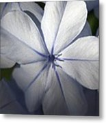 Pale Blue Plumbago Flower Close Up  Metal Print