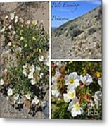 Pale Evening-primrose Metal Print