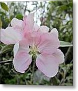 Pale Pink Crabapple Blossom Metal Print