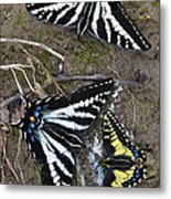 Pale Swallowtails And Western Tiger Swallowtail Butterflies Metal Print