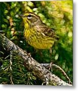 Palm Warbler Pictures 38 Metal Print
