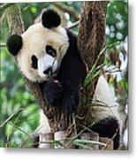 Panda Cub Resting On Tree Metal Print