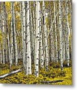 Panoramic Birch Tree Forest Metal Print