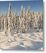 Panoramic View Of Snow-covered Spruce Metal Print