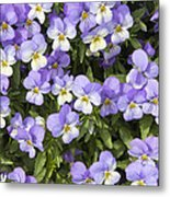 Pansy Flowers In Spring Background Metal Print