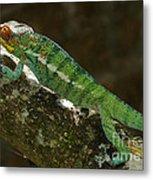 panther chameleon from Madagascar 5 Metal Print