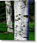 Paper Birch Trees Metal Print