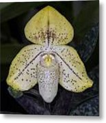Paphiopedilum Concolor Orchid Metal Print by Gerald Murray Photography