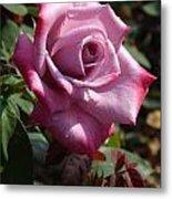 Paradise Rose  Metal Print