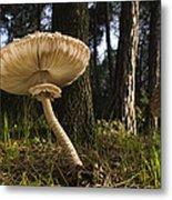 Parasol Mushrooms Pair In Forest Spain Metal Print