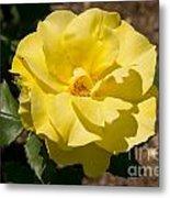 Parnell Yellow Rose Metal Print