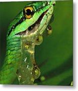 Parrot Snake Eating Frog Eggs Metal Print