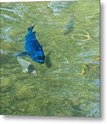 Parrotfish On A Swim Metal Print by John M Bailey