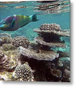 Parrotfish On The Barrier Reef At Metal Print