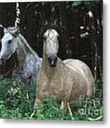 Paso Fino Mares Pay Attention Metal Print