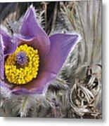 Pasque Flower Pulsatilla Halleri Metal Print