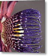 Passiflora Alata - Passion Flower - Ruby Star - Ouvaca Metal Print