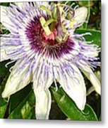 Passiflora Close Up With Garden Background  Metal Print
