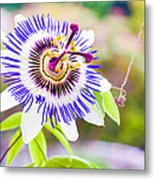 Passiflora Or Passion Flower Metal Print