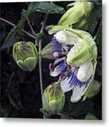 Passiflora Metal Print by Richard Cummings