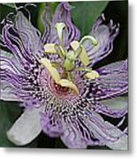 Passion Beauty Metal Print by Sarah E Kohara