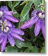 Passion Vine Flower Rain Drops Metal Print