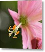 Passionflower Metal Print by Jacqui Collett