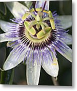 Passionflower Metal Print