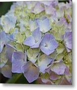 Pastel Blue Hydrangea Metal Print