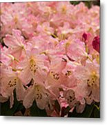 Pastel Coral Azaleas Refreshed By The Rains Metal Print