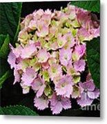 Pastel Pink Hydrangea Metal Print