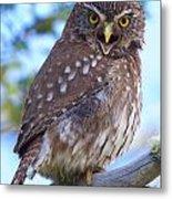 Patagonia Pygmy Owl Metal Print