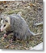 Pawing Possum Metal Print