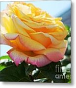 Peace Rose Kissed By The Sun Metal Print