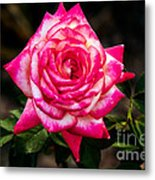 Peaceful Rose Metal Print