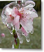 Peach Blossom In Ice Metal Print