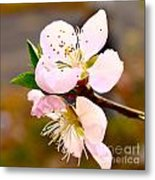 Peach Blossoms 1 Metal Print