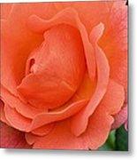 Peach Faced Rose Metal Print