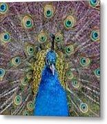 Peacock And Proud Plumage Metal Print