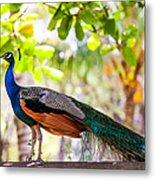 Peacock. Bird Of Paradise Metal Print