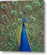 Peacock Blue Metal Print