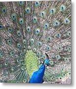 Peacock Bow Metal Print