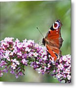 Peacock Butterfly  Inachis Io  On Buddleia Metal Print