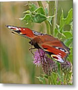 Peacock Butterfly On Thistle Square Metal Print